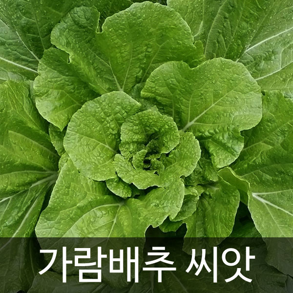 korean cabbage seed  ( 100 seeds )