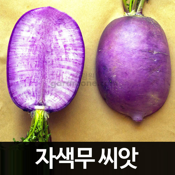 purple radish seed  ( 100 seeds )